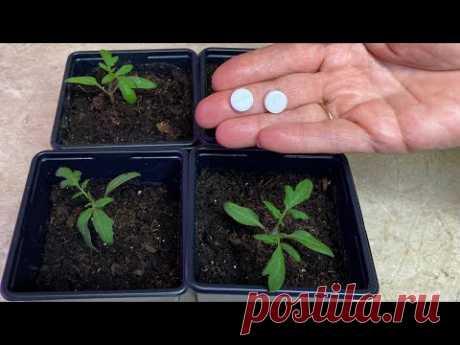 Всего две таблетки на один литр воды для рассады томатов для мощных корней