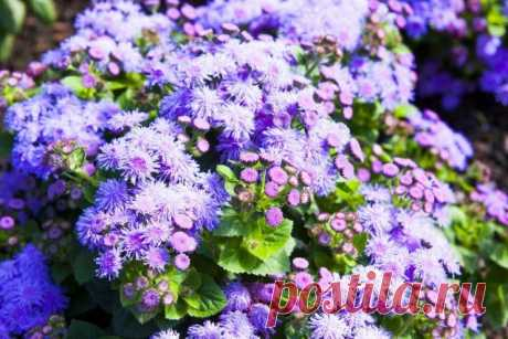 15 ornamental plants blossoming to the late fall   Flower beds and beds (Огород.ru)