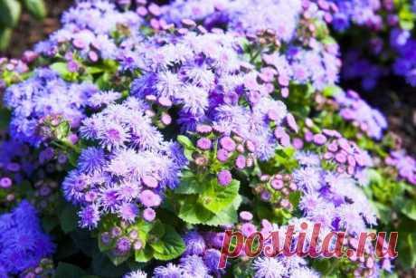 15 декоративных растений, цветущих до глубокой осени   Цветники и клумбы (Огород.ru)