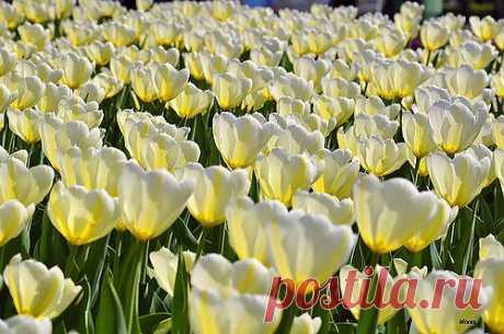 Белые тюльпаны.