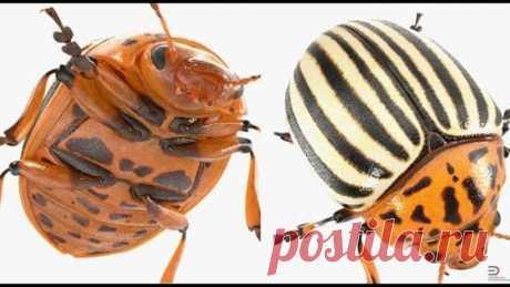 Как избавиться от колорадского жука на картошке навсегда