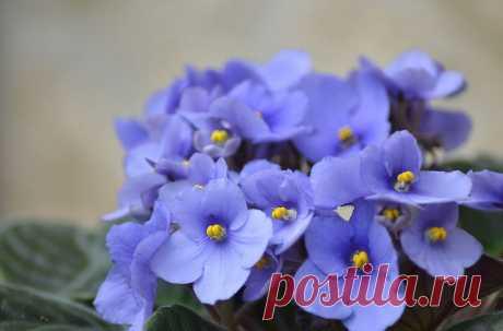 Подкормки фиалок для пышного цветения
