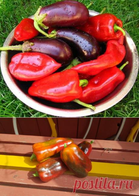 Нашла забытый метод советских агрономов. Получаем богатый урожай перцев и баклажанов на месяц раньше обычного | Люблю свою дачу | Яндекс Дзен