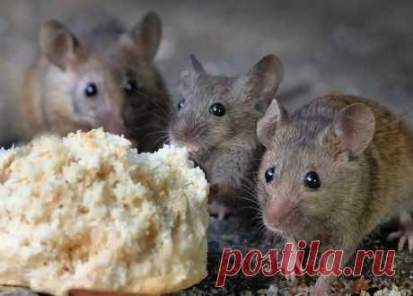 Как всего за 160 рублей избавиться от мышей в доме: способ таёжных охотников | FORUMHOUSE | Яндекс Дзен
