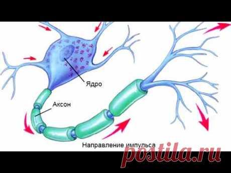 Нервный импульс. Почему он движется в одном направлении? Зачем нужен миелин?