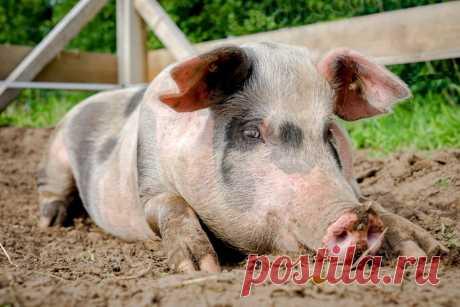 Las razas de los cerdos: Dyurok, la característica de Karmaly, el Brasero, Yorkshire, grande blanco, la dirección de carne, los tipos, la foto, las revocaciones