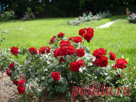 Como salvar las rosas después de la invernada desgraciada