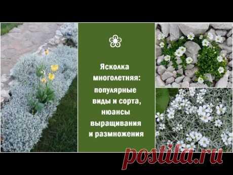 ❀ Ясколка многолетняя: популярные виды и сорта, нюансы выращивания и размножения