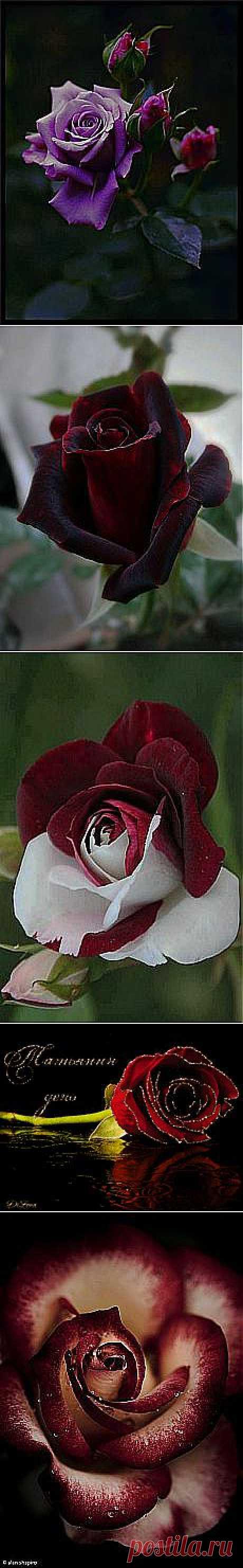 Курякова Наталья: розы   Постила