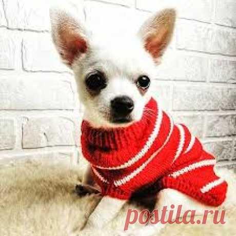 Вяжем свитер для небольшой собачки Описание работ со слов автора: Для собаки с объёмом груди не более 40 см. Пряжа натурального состава 120-130 м в 50 граммах. Спицы № 2,5 для резинки 3,5 для основного полотна. На спицы 2,5 набираем 41 петлю удобным Вам способом.