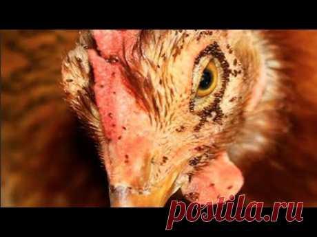 Как избавиться от куриных блох, вшей, пероедов, клещей