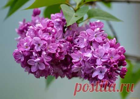 цветы сирени фото: 3 тыс изображений найдено в Яндекс.Картинках