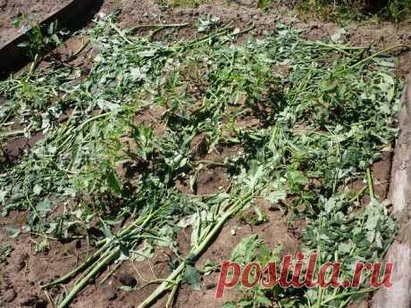 Земля после помидоров: как восстановить к новому сезону под те же помидоры