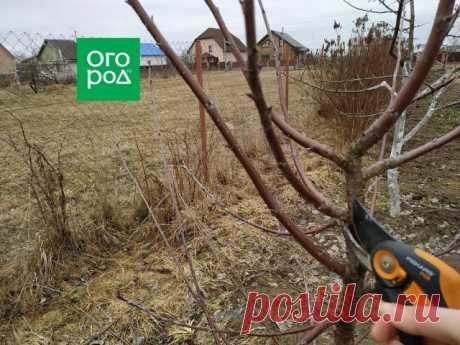 Как обрезать вишню весной – подробный мастер-класс с фото | Вишня, черешня (Огород.ru)