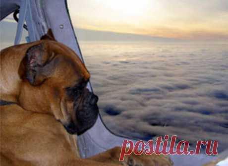 Собака в самолете: может ли летать рожденный лаять