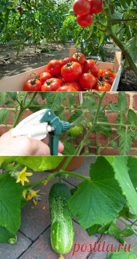 Попшикайте этим средством на огурцы и помидоры — и они никогда не будут «болеть» - Первый Женский