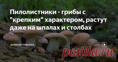 """Пилолистники - грибы с """"крепким"""" характером, растут даже на шпалах и столбах   Пилолистниками эти грибы названы из-за зубчатых пластинок у взрослых грибов, похожих на пилу - Взрослые пилолистники не вызывают даже намека на гастрономический интерес, если попробовать его сорвать или даже срезать это вряд ли получится, грибы резиново-крепкие, гнутся, но не отрываются, шляпки прочные и упругие. По сути это почти трутовики, только с псевдопластинками, а не трубочками, как обычн..."""