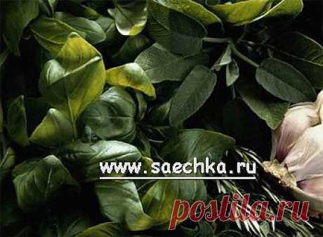 Душица обыкновенная (орегано) | Saechka.Ru - рецепты с фото