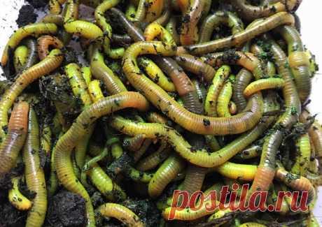 Укропные черви — и рыба будет клевать даже в жару