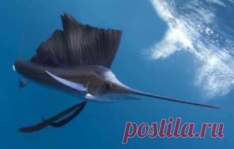 Как выглядит и чем питается хищная рыба-меченос? Какой ареал обитания у рыбы и с какой скорость плавает в воде? Сколько весила самая большая выловленная рыба?