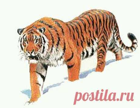 Исчезающие виды животных: амурский тигр | Экология как бизнесс Экология как бизнесс