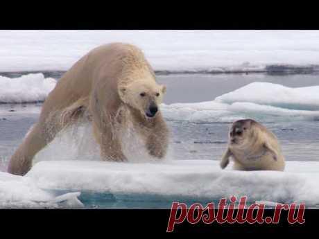 Полярный медведь незаметно подбирается и неожиданно атакует отдыхавшего на льдине тюленя. Яркий и кровавый эпизод из фильма BBC «Охота»