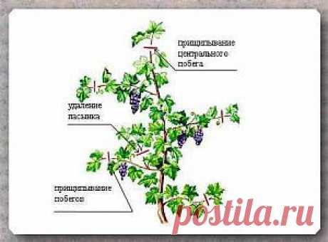 Уход за саженцем винограда в первые годы жизни | Дача - впрок