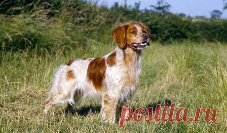 5 пород собак, которые теряют популярность | PetTips