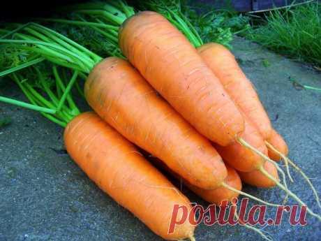 Сорта моркови, в которые я просто влюбилась, они всегда дают крупный урожай и хорошо хранятся | Моя успешная дача | Яндекс Дзен
