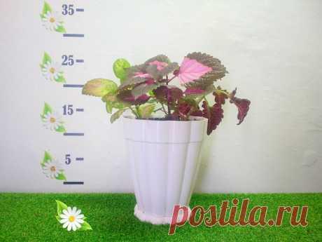 Колеус 3 расцветки в одном горшке Идеальное растение для школы и детских садов Высота 25 см Возраст 1 года Тип вечнозеленое, комнатное Показать полностью...