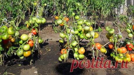 Вычитала в советской книге интересную подкормку, после которой огурцы и томаты растут в 2 раза быстрее. Делюсь инструкцией | Первый огородный | Яндекс Дзен