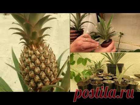 Как вырастить и получить плоды ананаса в домашних условиях.  Советы от Виолетты