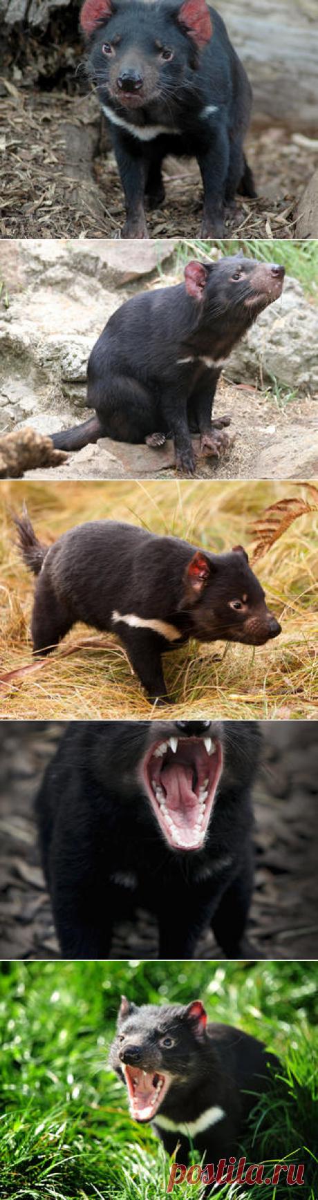Смотреть изображения тасманских дьяволов | Зооляндия