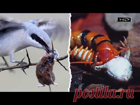 Симпатичная певчая птичка с наклонностями колосажателя, Маленький убийца со зверским аппетитом