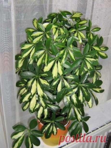 Шеффлера. В наше время шеффлера является очень популярным комнатным растением, она прекрасно может украсить интерьер вашего дома. Шеффлера родом из Австралии она растет на островах в Тихом океане. Этому растени…