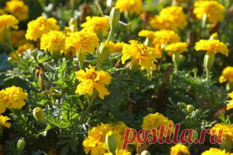 17 растений, которые обратят вредителей в бегство. Природные инсектициды для сада