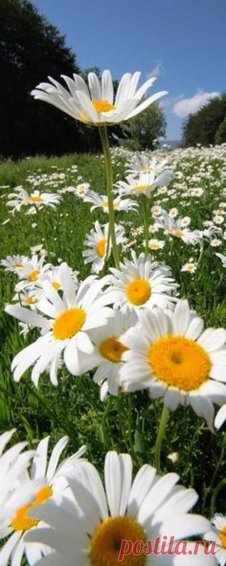 <3 daisies, flowers, summer, field | Wild Flowers and Heaven....