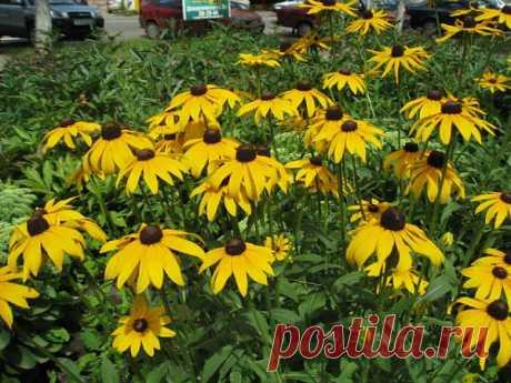 Цветы рудьбекии.   -   QIP Shot - Загружайте и публикуйте фотографии онлайн