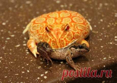 Украшенная рогатка: Лягушка, которой палец в рот не клади. Сила укуса в 50 кг!   Рекомендательная система Пульс Mail.ru