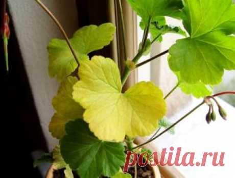 Почему у герани желтеют листья и что делать?   6 соток