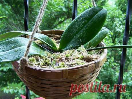 Trasplanten la orquídea en el canastillo - el florecimiento pomposo es garantizado \u000aDel autor: Hace poco he adquirido la orquídea, que no quería habituarse de ningún modo en el puchero regular de plástico. En la consecuencia resultó que las raíces falenopsisa eran muy sensibles al exceso vlag …