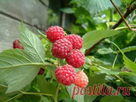 Малина — что нужно сделать в начале мая для получения крупных ягод   Огород на 6 сотках   Яндекс Дзен