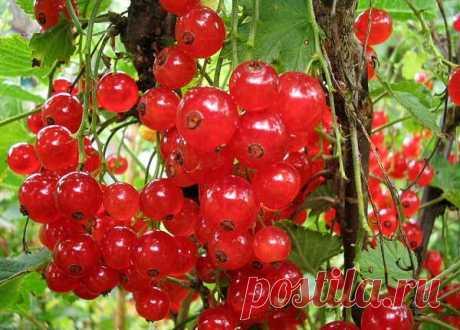 Красная смородина предупреждает инфаркт и устраняет тромбы.  Менее популярная, в отличие от своей «черной» сестры, красная смородина - это настоящий кладезь редких полезных веществ, которые могут помочь человеку при болезнях сердца и крови.  В ягодах красной смородины содержится 4—11 % Сахаров (преимущественно глюкоза и фруктоза), 2—4 % органических кислот (больше всего лимонной), дубильные, пектиновые и красящие вещества, фенольные соединения, минеральные соли, витамины...