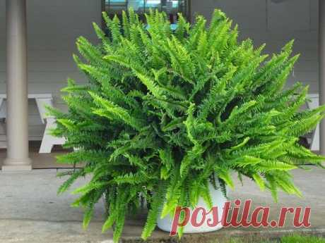 En algunos casos el color amarillo de las hojas cerca del geranio es provocado por los daños de las raíces al transbordo informal