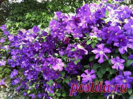 Садовые клематисы сорта - подборка фото