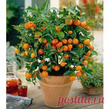 Как вырастить апельсиновое дерево из косточки. | Хитрости Жизни