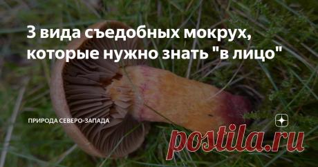 """3 вида съедобных мокрух, которые нужно знать """"в лицо"""" Узнать о грибах больше никогда не поздно"""