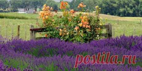 Лаванда — аромат и цвет. Посадка и уход. Фото - Ботаничка.ru