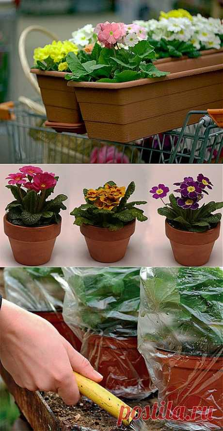 How to keep pottery primroses on Supersadovnik.ru