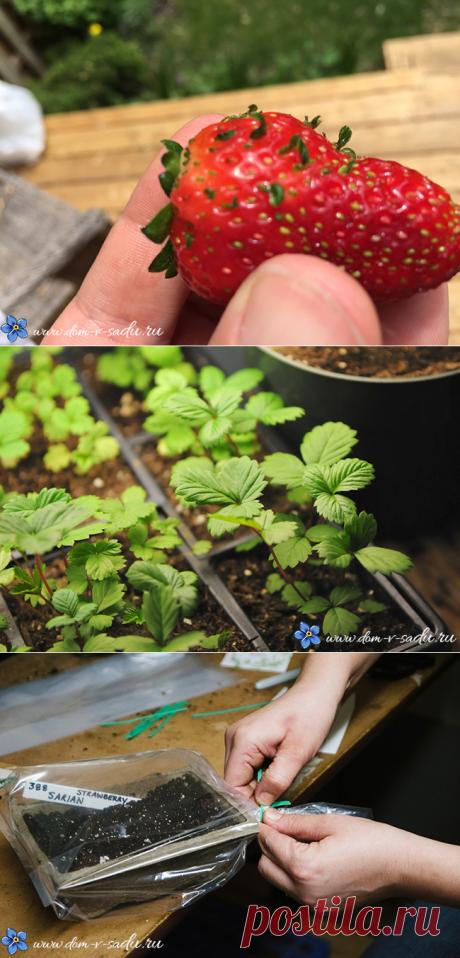 Выращивание клубники из семян в домашних условиях   Частный Дом